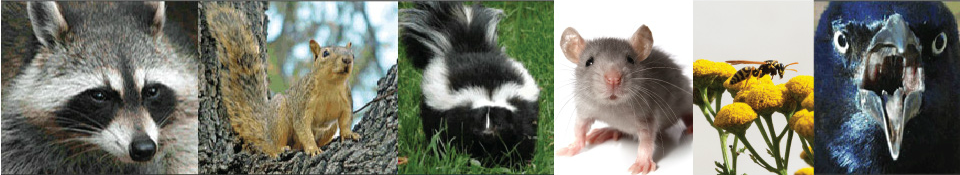 Raccoon, squirrel, skunk, mouse, hornet, angry bird