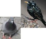 pigeon and starling