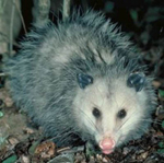 sneaky opossum
