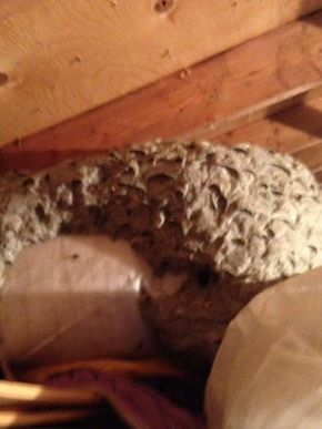 Yellow jackets' nest