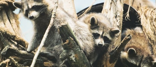 Raccoon Family