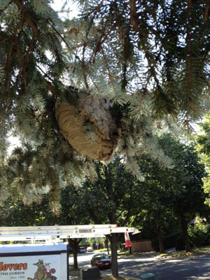 Bald faced hornets' nest